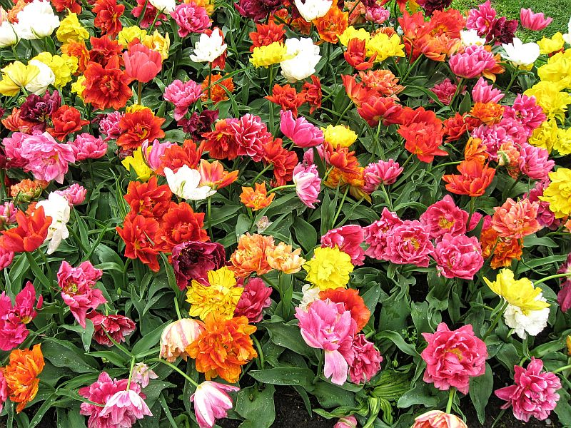 tulips, Keukenhof, Keukenhof gardens, Lisse, the Netherlands, flower patterns, tulip beds, tulip mixture