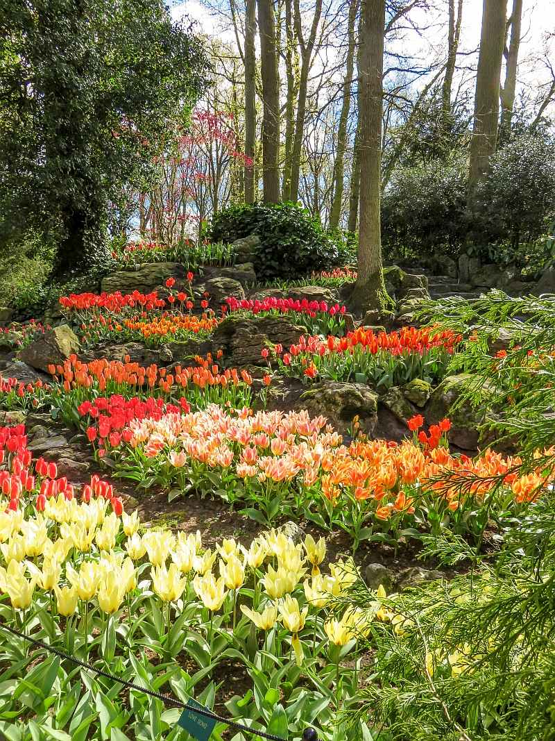 beautiful landscaping with lots of colorful tulips in Keukenhof gardens