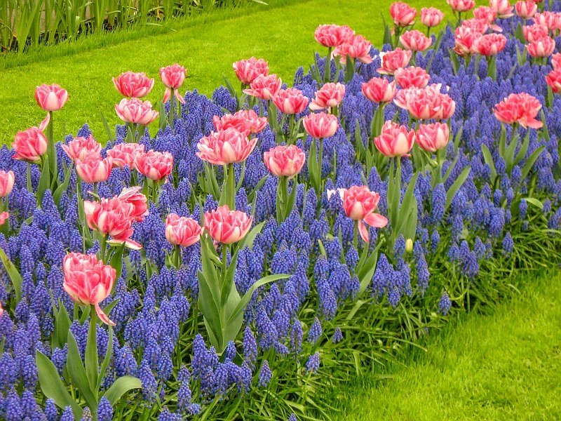 tulips and muscari on a patch of green grass in Keukenhof