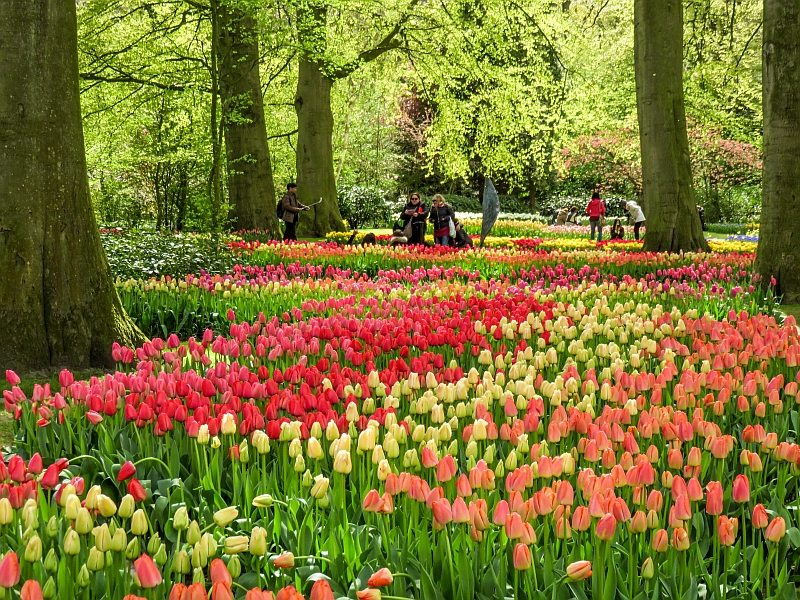 a mixture of tulips covering the park and some people taking photos at the background, Keukenhof gardens in the Netherlands
