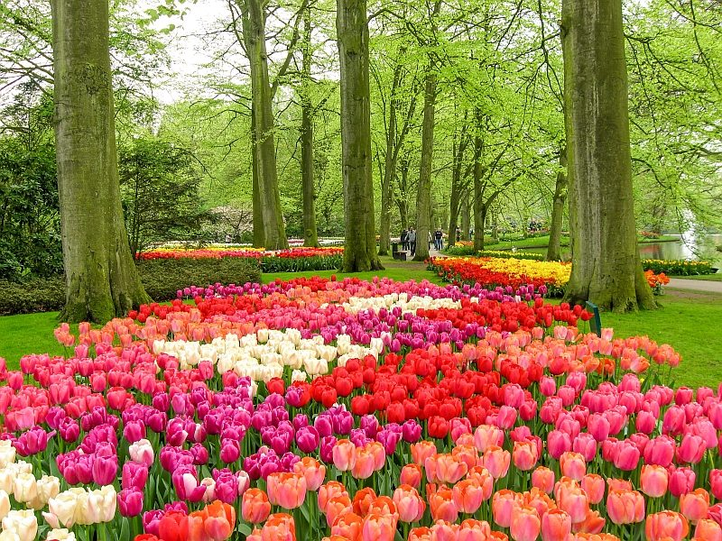 tulips in different colors in a park with green trees, Keukenhof